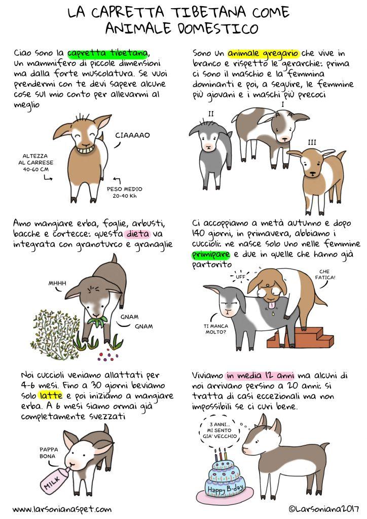 la capretta tibetana